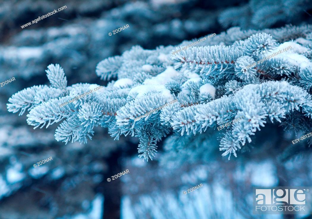 Stock Photo: Winter frost on spruce tree close-up.