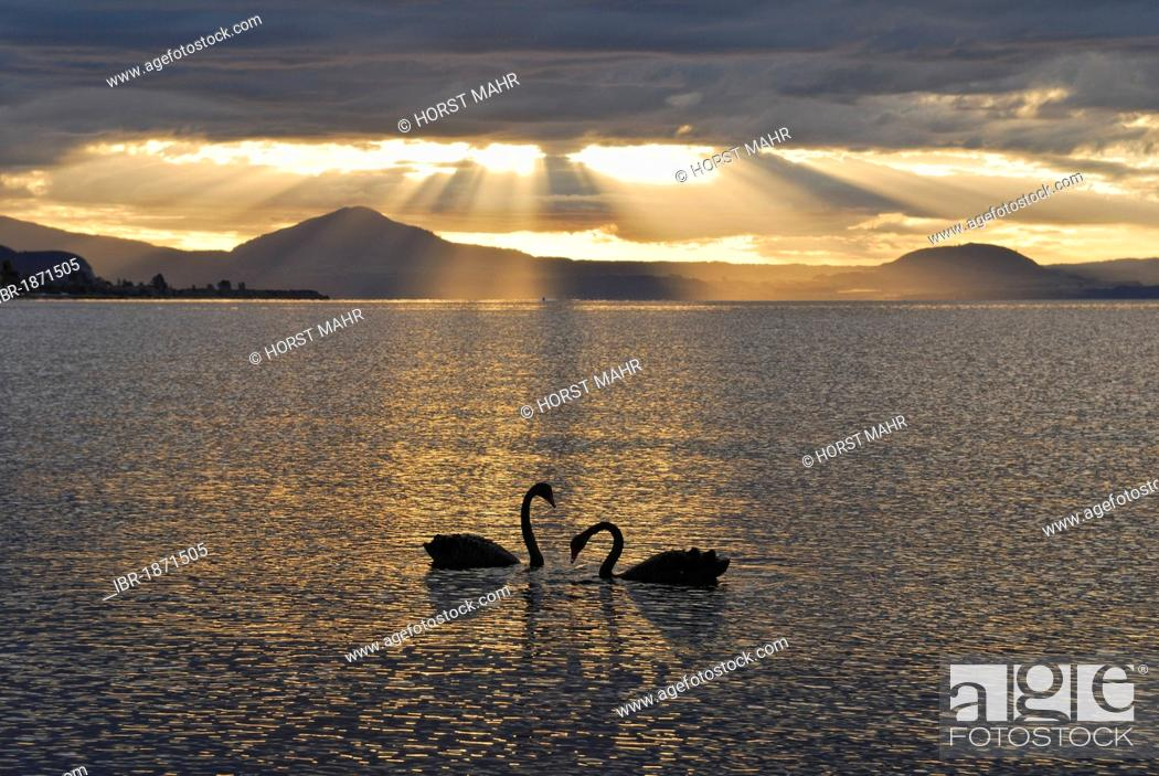 Stock Photo: Black swans in the evening, Lake Taupo, North Island, New Zealand.