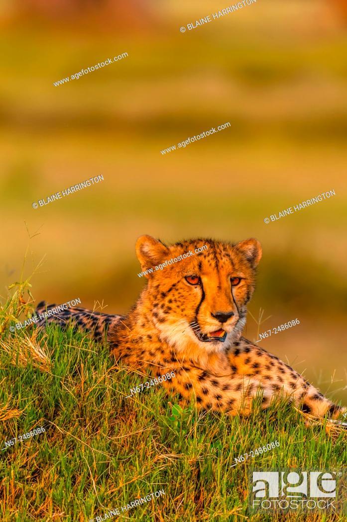 Stock Photo: A cheetah on a mound, near Kwara Camp, Okavango Delta, Botswana.