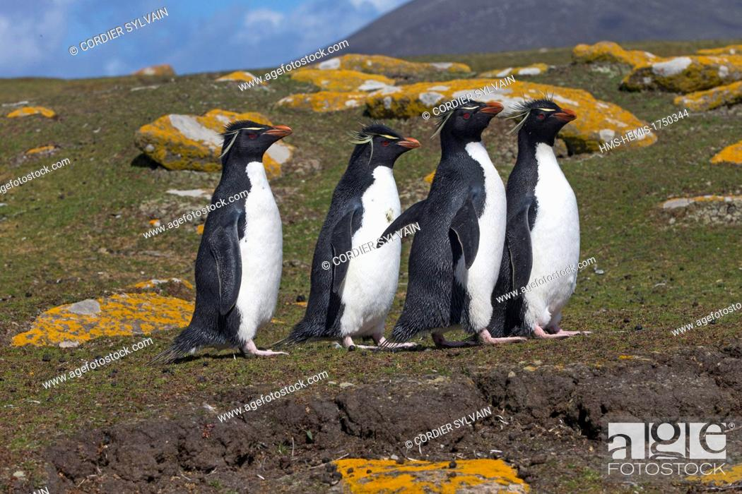 Imagen: Falkland Islands, Saunders island, Rockery, Rockhopper penguin (Eudyptes chrysocome chrysocome).