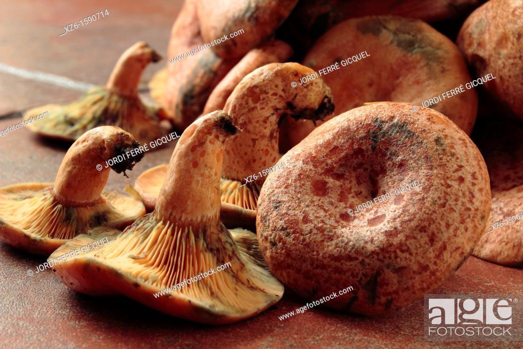 Imagen: Edible mushroom, Saffron milk cap, Red pine mushroom, pinetell, níscalo Lactarius deliciosus, Catalonia, Spain, Europe.