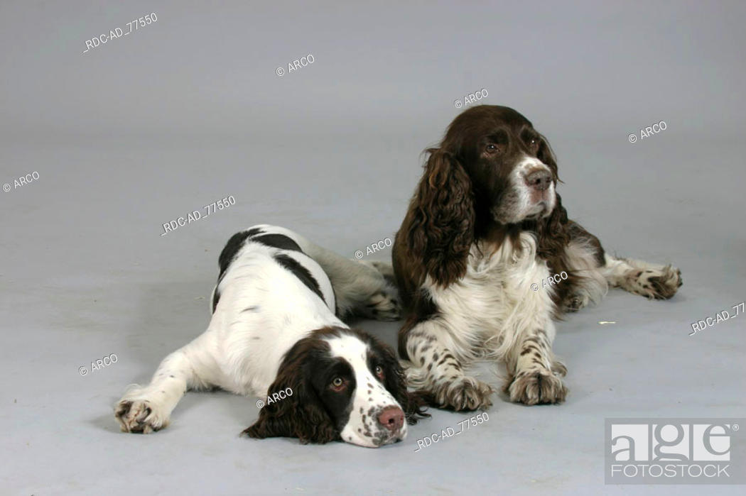 Stock Photo: English Springer Spaniel with puppy.