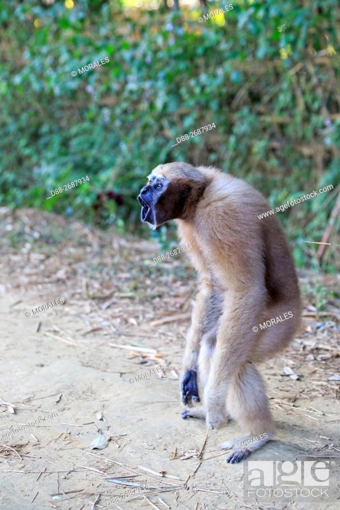 Stock Photo: South east Asia, India, Tripura state, Gumti wildlife sanctuary, Western hoolock gibbon (Hoolock hoolock), adult female walking.