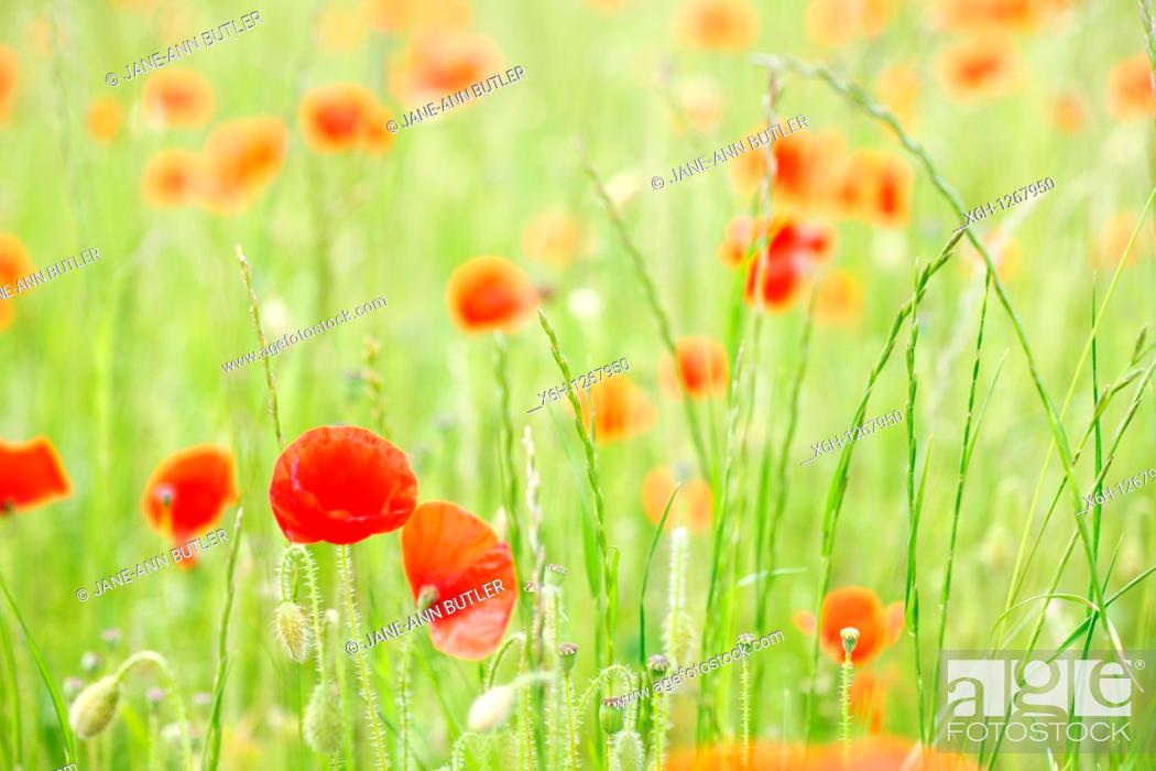 Stock Photo: Red Poppies a Delightful Summer Scene.