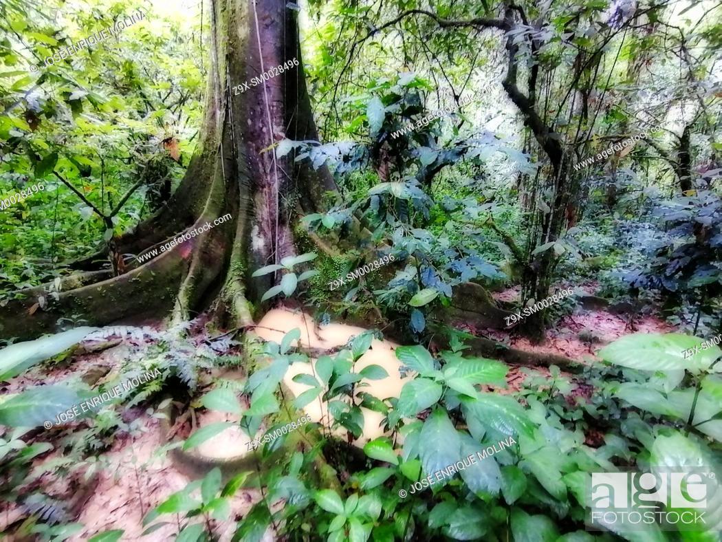 Stock Photo: Amazonian rain forest.Ceiba pentranda tree, Peruvian jungle. Huanuco department, Perú, South America.