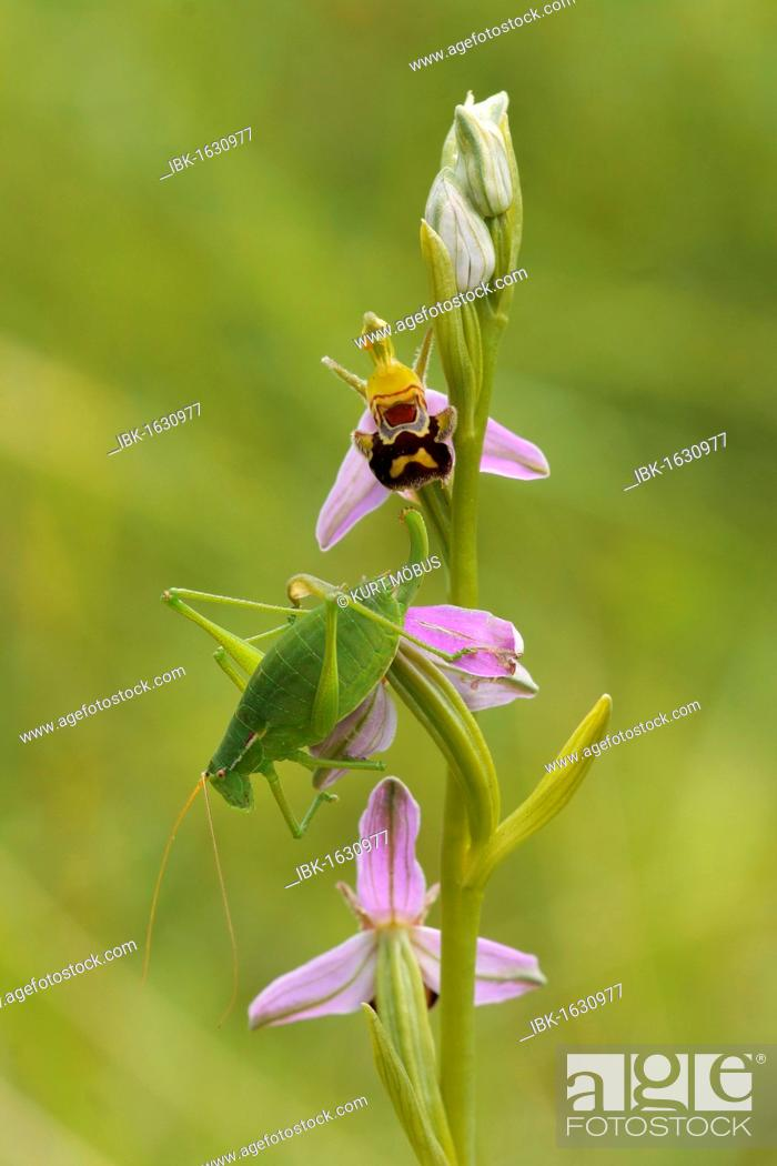Stock Photo: Male of Krauss's Bush-cricket (Isophya kraussi) on the flowers of a Bee Orchid (Ophrys apifera).