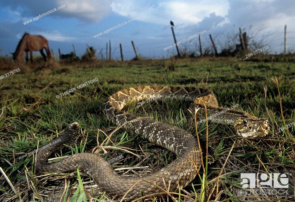 Stock Photo: Crotalus durissus. South American Rattlesnake near horses. Rupununi savannah. Guyana.