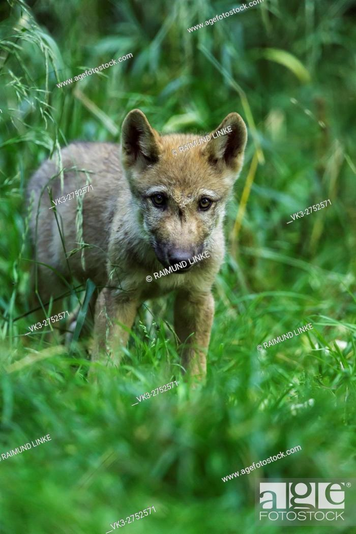 Stock Photo: European Gray Wolf, Canis lupus lupus, Pup, Germany.