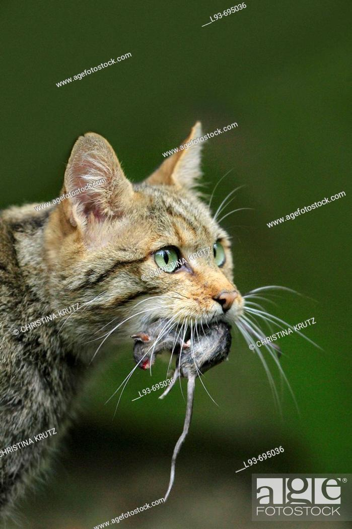 Stock Photo: European Wildcat, Felis silvestris, Bavarian Forest National Park, Bavaria, Germany.