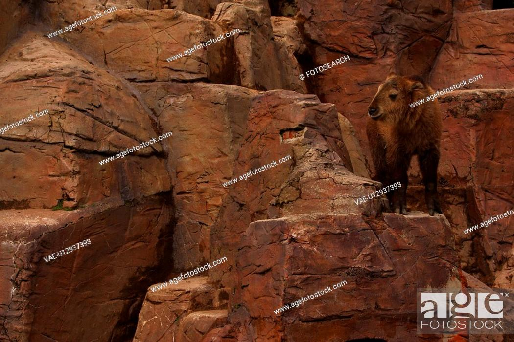Stock Photo: bison, baby, calf, offspring, immature, young.
