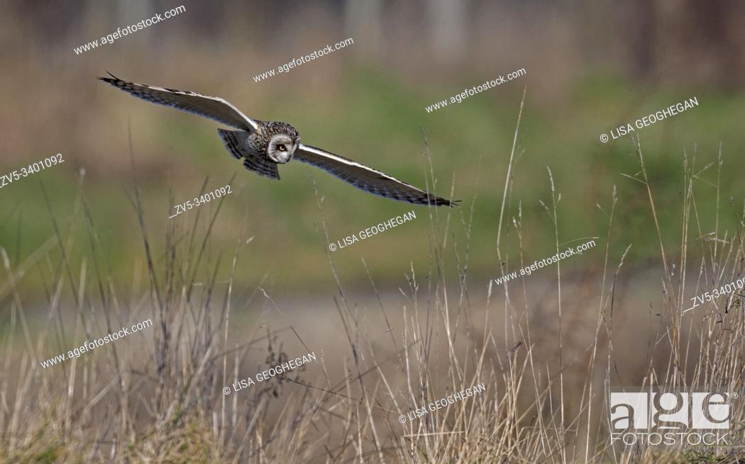 Imagen: Short-eared Owl-Asio flammeus hunts. Winter. Uk.