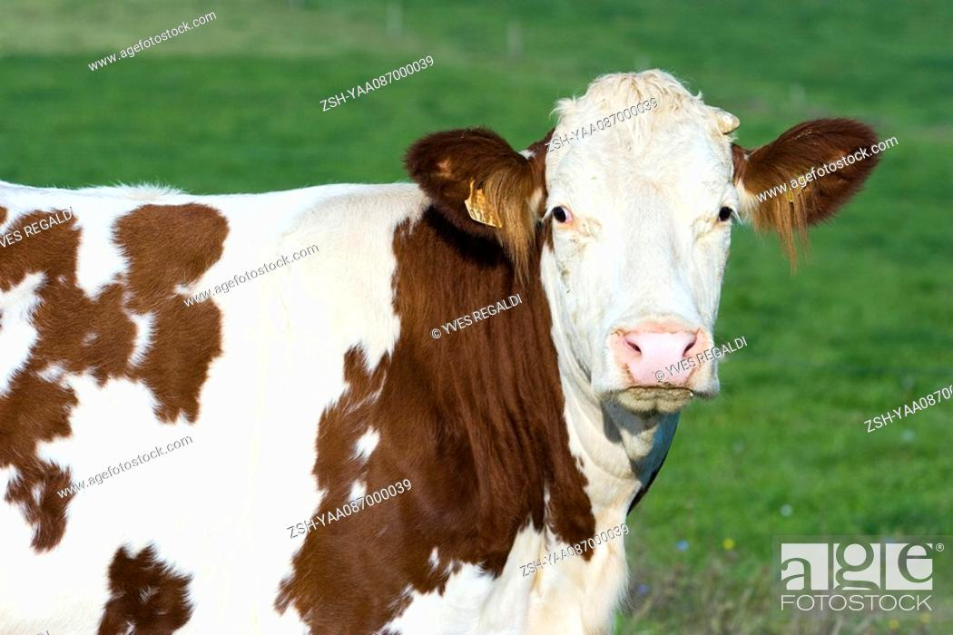 Stock Photo: Montbeliard cow, portrait.