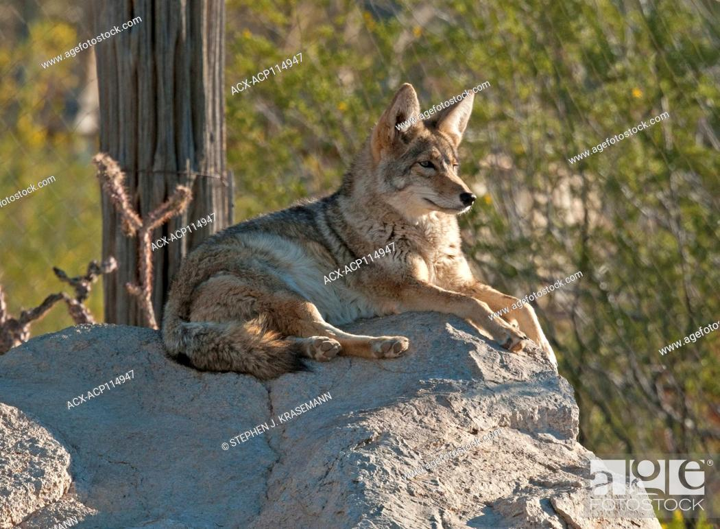 Stock Photo: Coyote (Canis latrans), resting but alert at the Arizona Sonoran Desert Museum, Tucson, AZ.