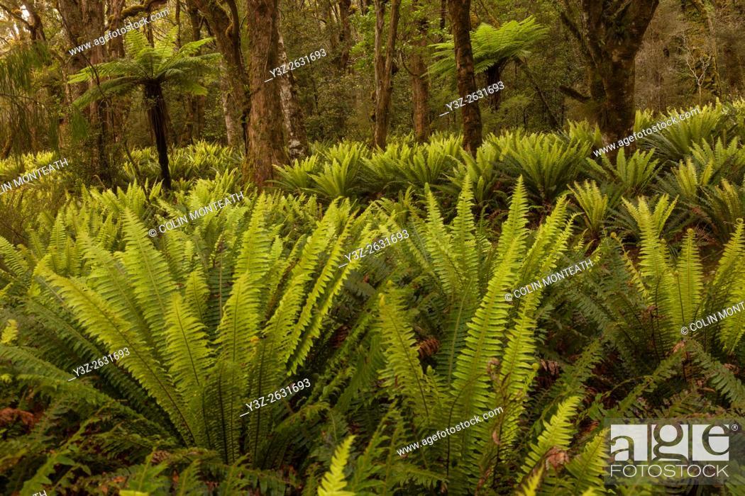 Imagen: Crown ferns and tree ferns, under podocarp forest canopy, Rakeahua, Stewart Island, rakiura.