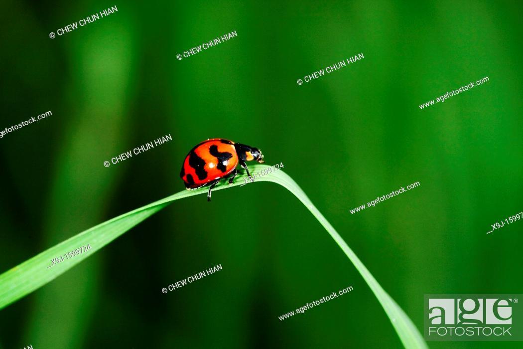 Stock Photo: Red color of ladybird, Borneo.