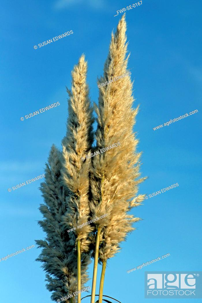 Imagen: Grass, Pampas grass, Cortaderia selloana, Side view of beige plumes of this tall grass against a blue sky.