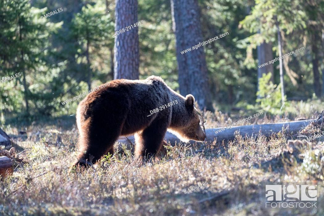Photo de stock: Europe, Finland, Kuhmo area, Kajaani, Brown bear (Ursus arctos horribilis).