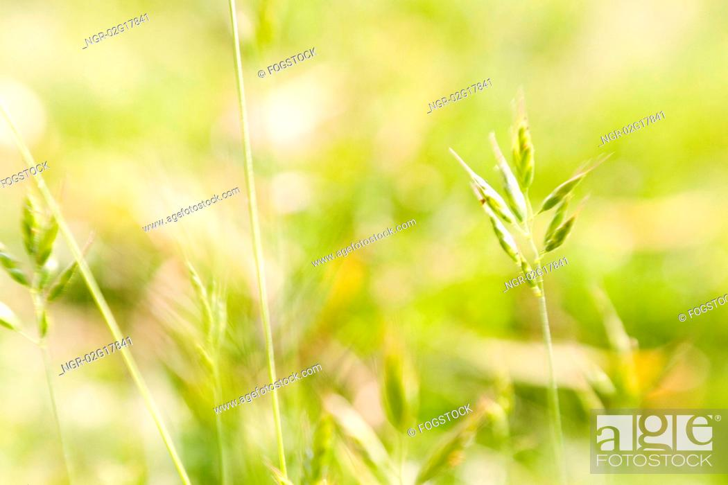 Stock Photo: Wild Grass.