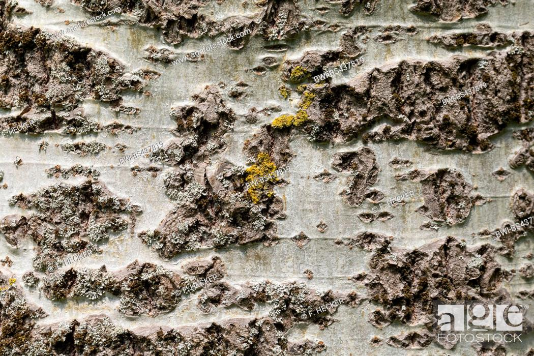 Stock Photo: white poplar, silver-leaved poplar, abele (Populus alba), bark, Germany.