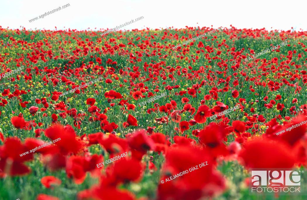 Stock Photo: Flandes Poppy (Papaver rhoeas) field.