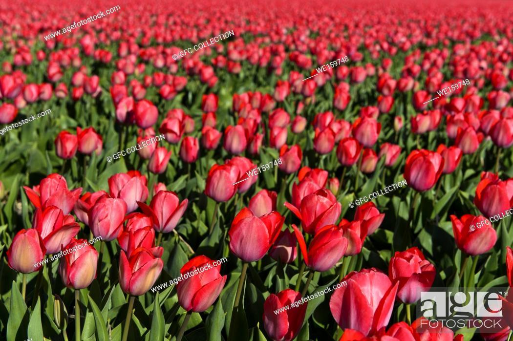 Stock Photo: Field of pink tulips for the production of flower bulbs in the Bollenstreek area, Noordwijkerhout, Netherlands.