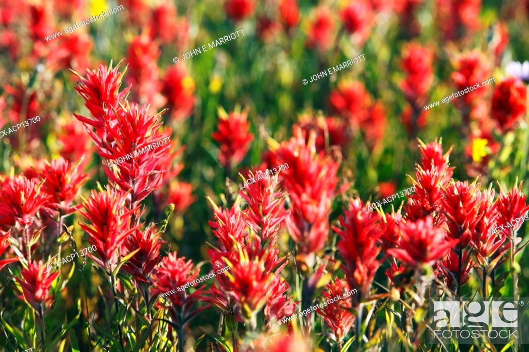 Stock Photo: Red indian paintbrush, British Columbia, Canada.