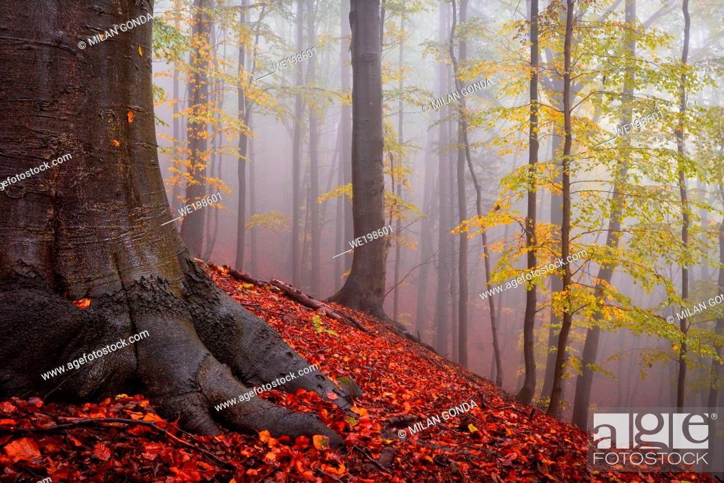 Stock Photo: Beech forest in Mala Fatra national park on a rainy day, Slovakia.