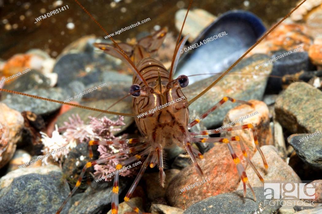 Stock Photo: Rock Shrimp, Palaemon elegans, Cap de Creus, Costa Brava, Spain.