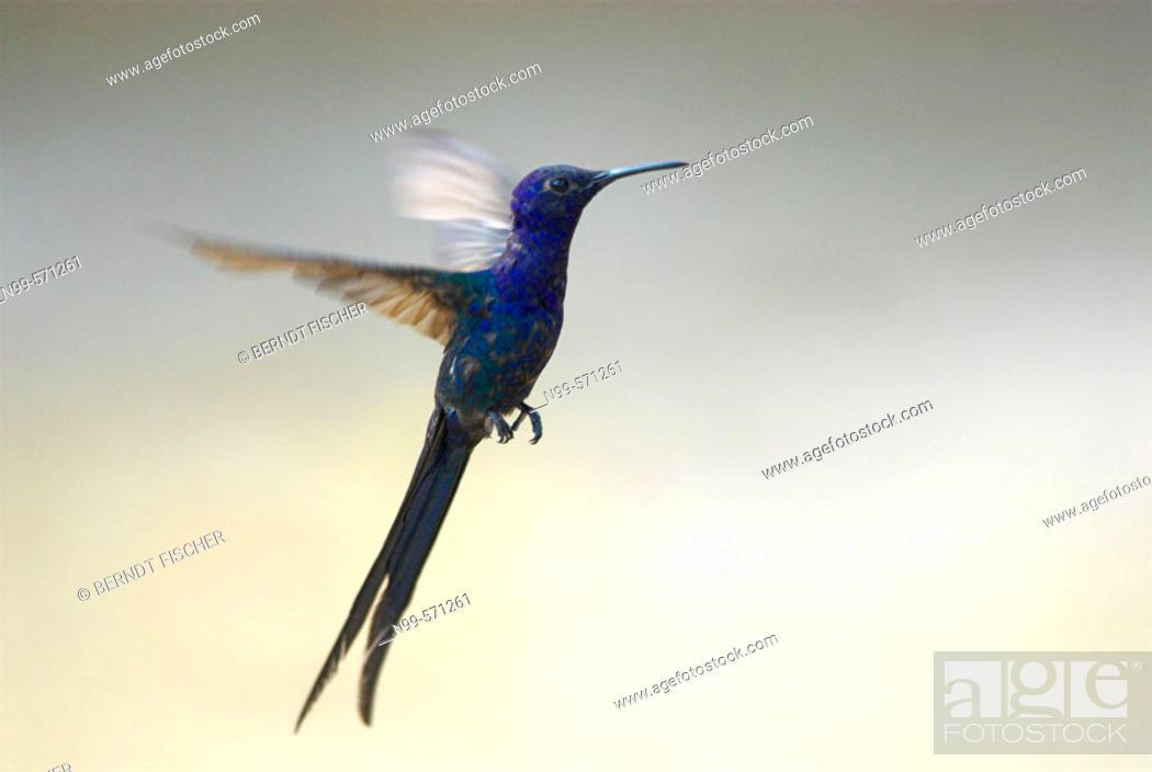 Stock Photo: Swallow-tailed Hummingbird (Eupetomena macroura) twanging/whirring in the air. Piauí, Brazil.