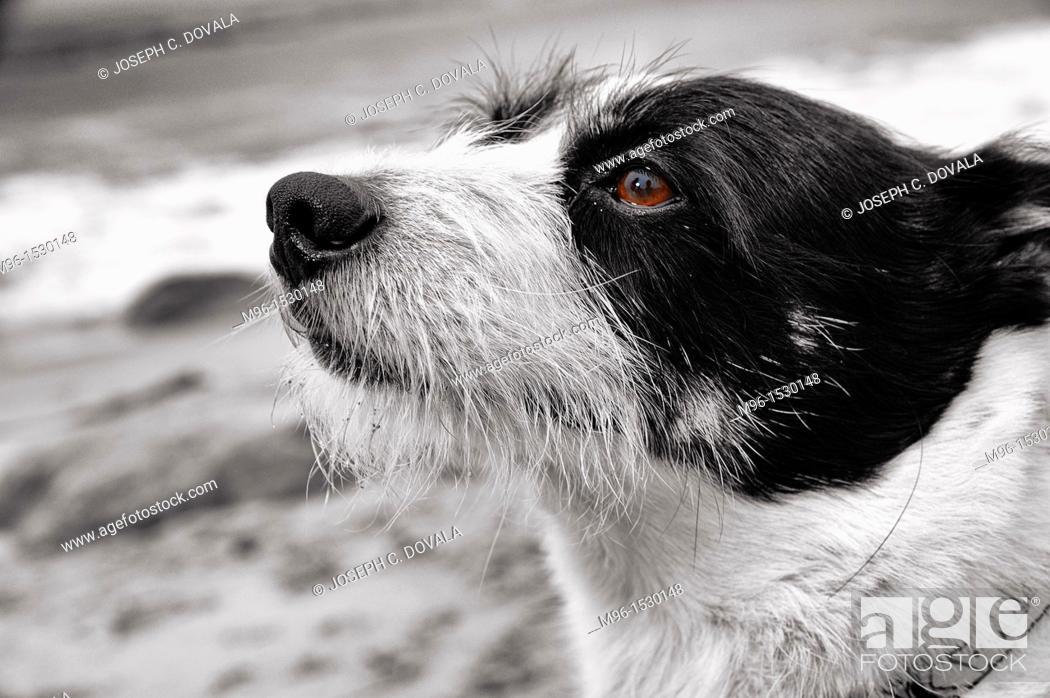 Stock Photo: Mixed breed terrier closeup.
