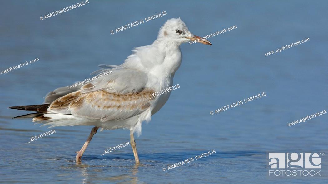 Photo de stock: Slender-billed Gull (Larus genei), Greece.