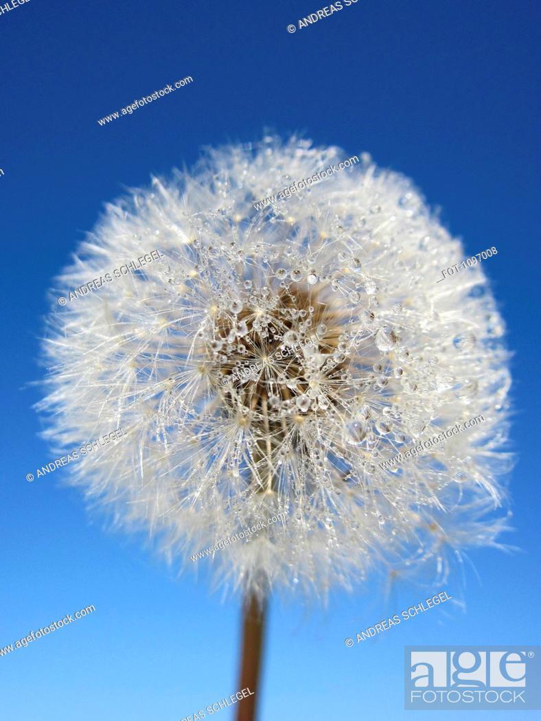 Stock Photo: Dew on a dandelion.