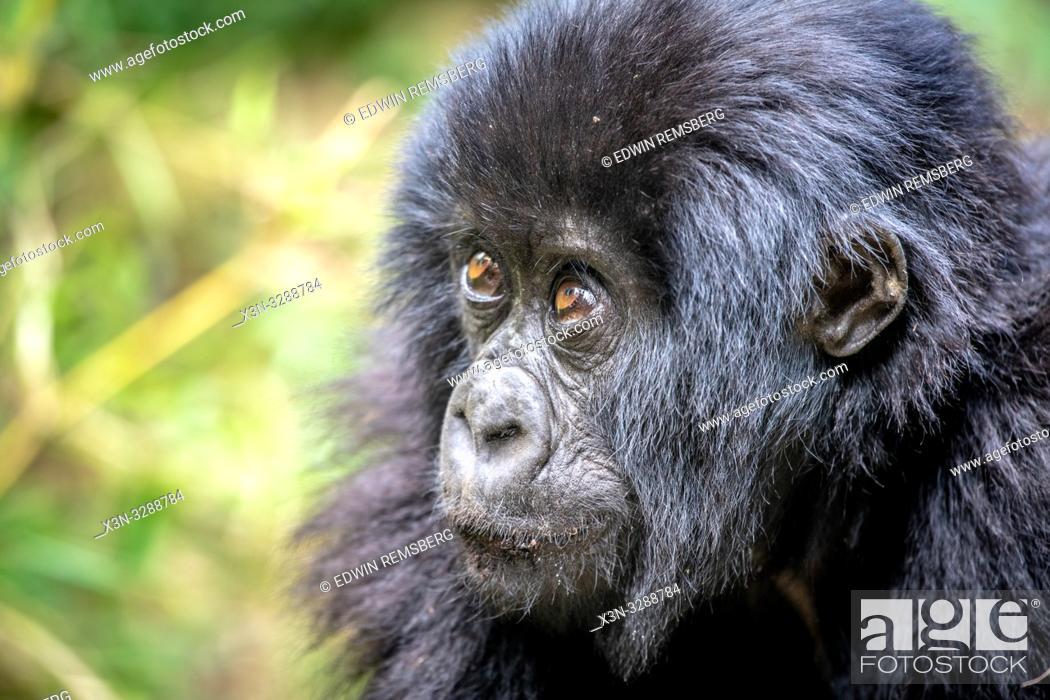 Stock Photo: A baby Mountain Gorilla (Gorilla beringei beringei) of the Muhoza group, in Volcanoes National Park, Virunga mountain range , Rwanda.