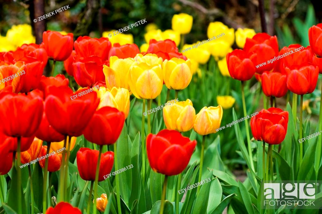 Stock Photo: Tulips.