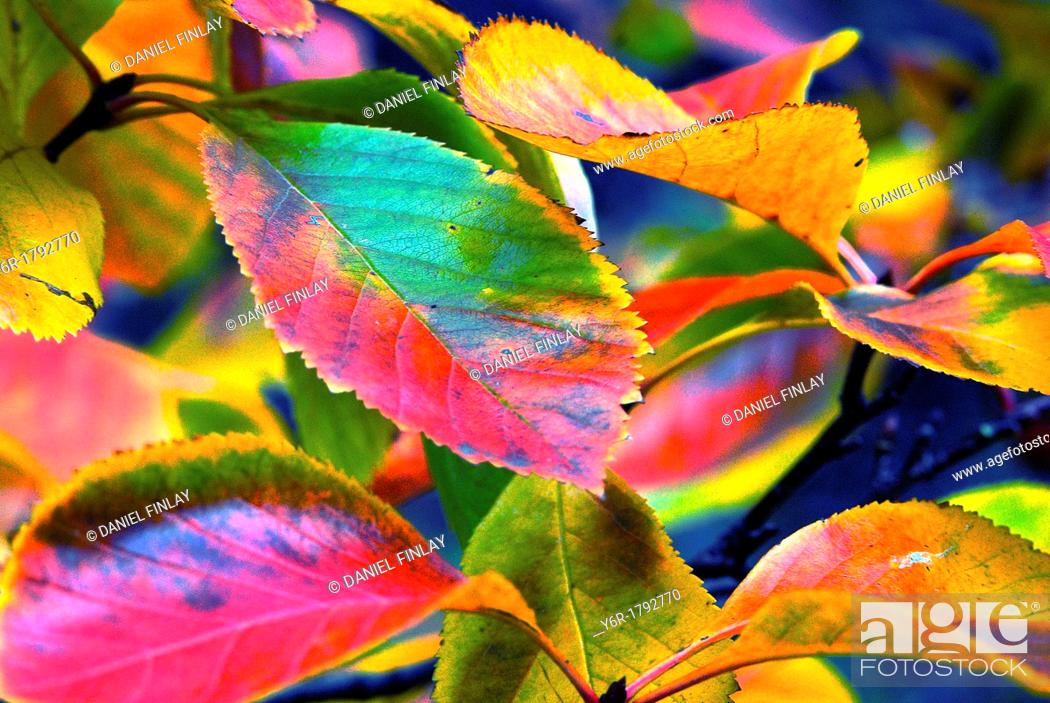 Stock Photo: Colourful Autumn leaves in London, England.