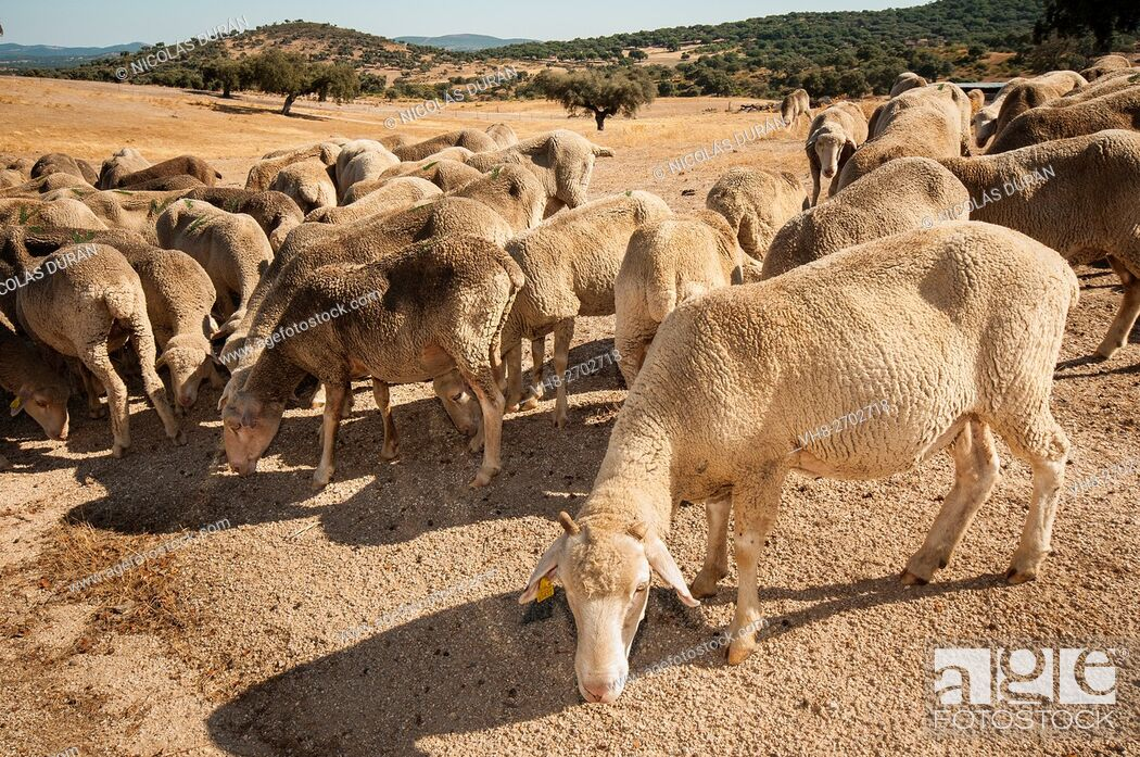 Stock Photo: Merina sheep in summer. Alburquerque. Badajoz Province. Extremadura. Spain.
