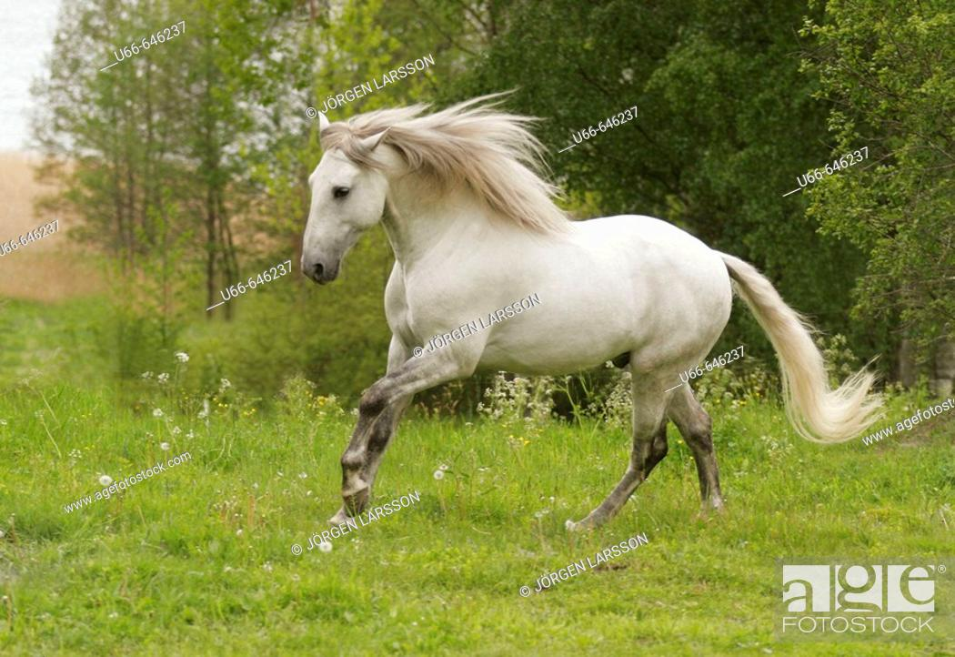 Stock Photo: Lusitano horse running. Sweden.