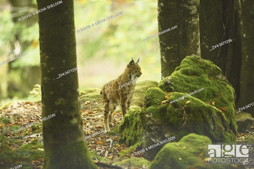 Stock Photo: Eurasian lynx (Lynx lynx) in a forest, captive, Bavarian Forest Nationalpark, Bavaria, Germany, Europe.