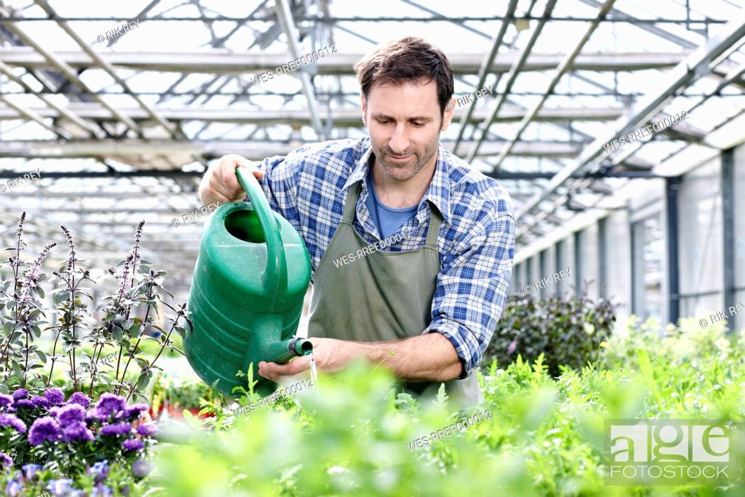 Stock Photo: Germany, Bavaria, Munich, Mature man in greenhouse watering rocket plant.