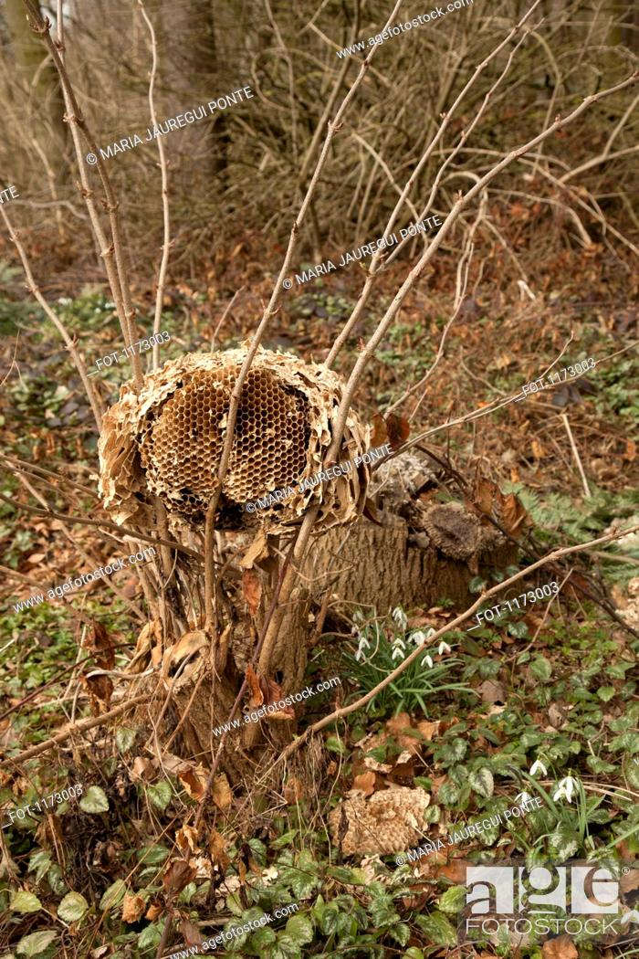 Stock Photo: Wild paper wasp nest on branches.