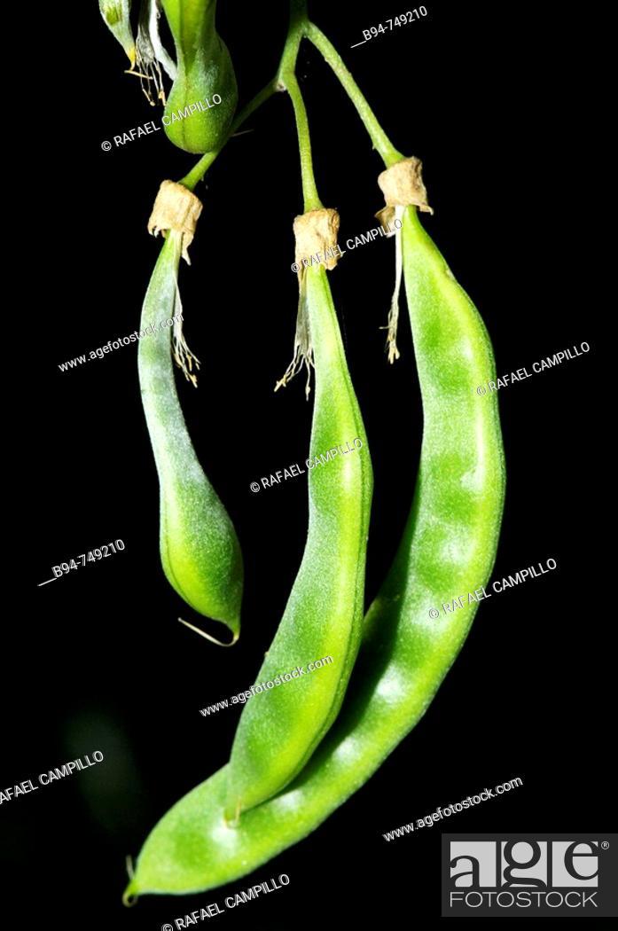 Stock Photo: Seed pod of broom (Cytisus laburnum), Osseja. Pyrenees-Orientales, Languedoc-Roussillon, France.