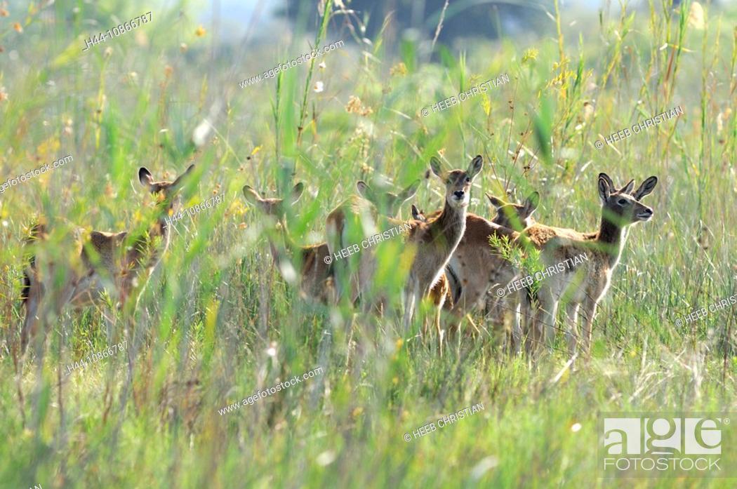 Stock Photo: Red Lechwe, Kobus leche, Kwando River, Susuwe Island Lodge, Bwabwata, National Park, Caprivi Region, Namibia, Africa, Travel, Nature.