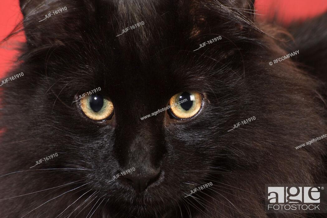 Imagen: Norwegian Forest cat - portrait - close-up.