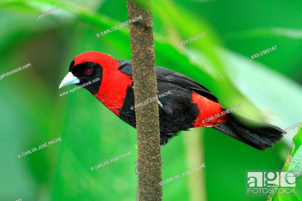 Imagen: Sangre de Toro (Ramphocelus sanguinolentus). Parque Nacional Volcan Arenal, Costa Rica.