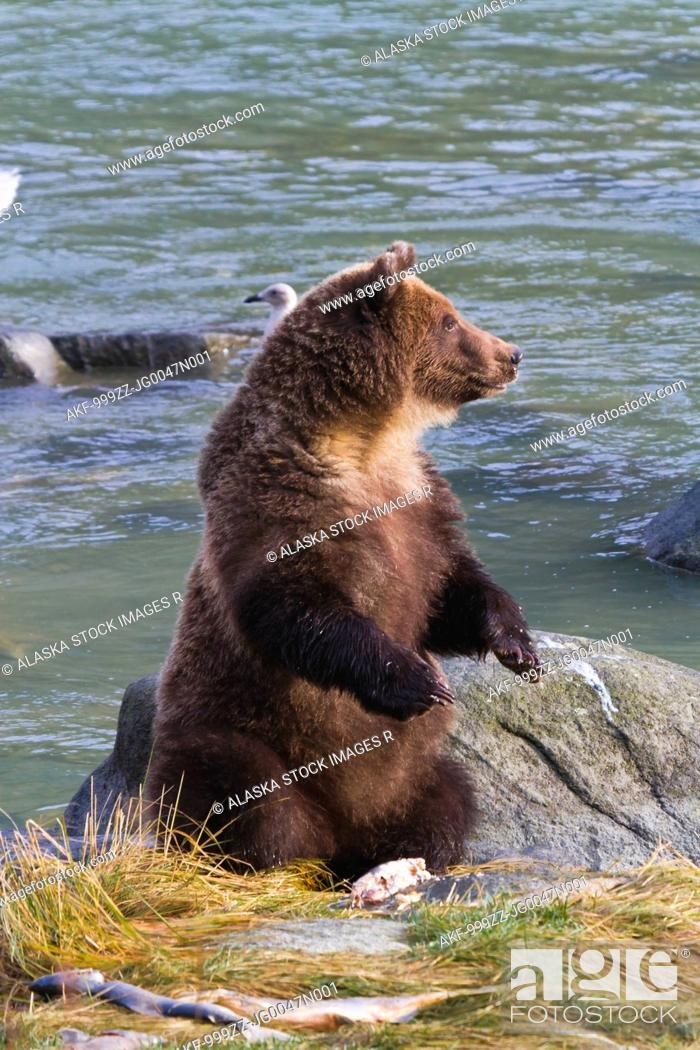 Stock Photo: Sub-adult Brown Bear sitting on hind feet and eating salmon, Chilkoot River, Haines, Southeast Alaska, Autumn.