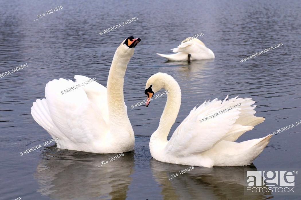 Stock Photo: Mute swans in Round Pond, Kensington Gardens, London.