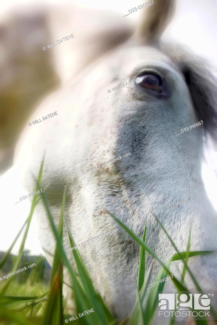 Stock Photo: Close up of horse eating grass.