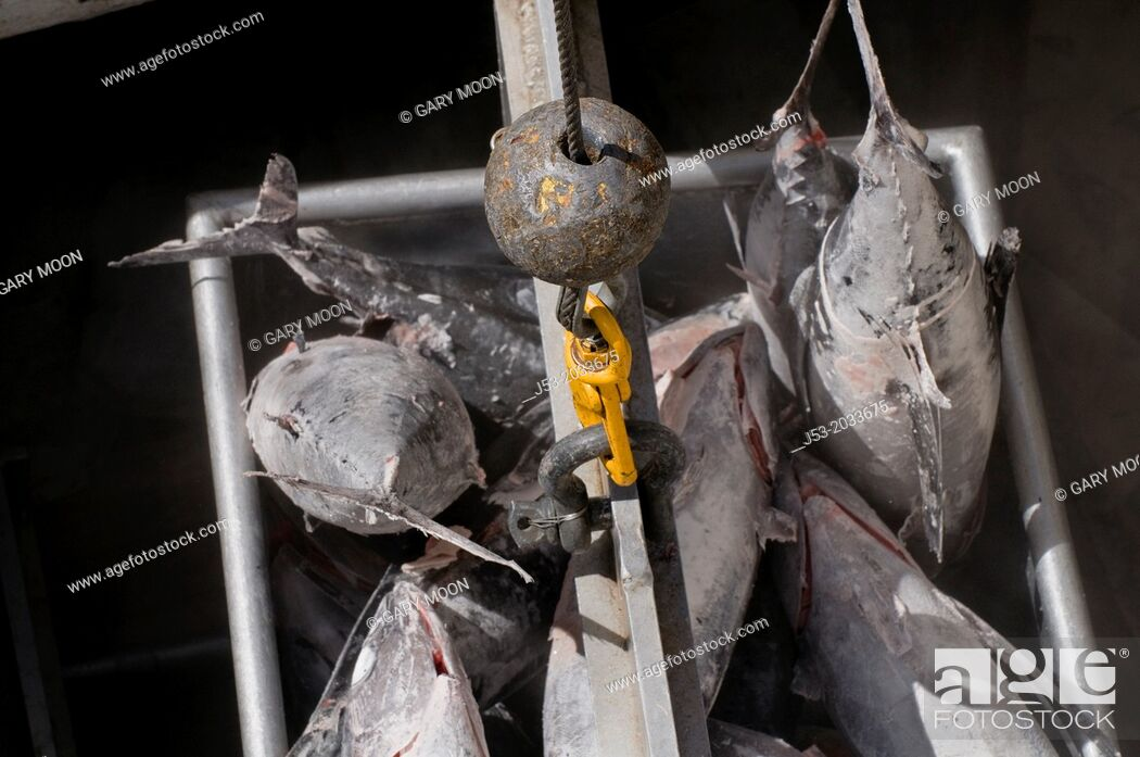 Stock Photo: Frozen albacore tuna being hoised from fish hold in commercial fishing boat for transfer to fish buyer at seafood processig plant, Port of Newport, Oregon USA.