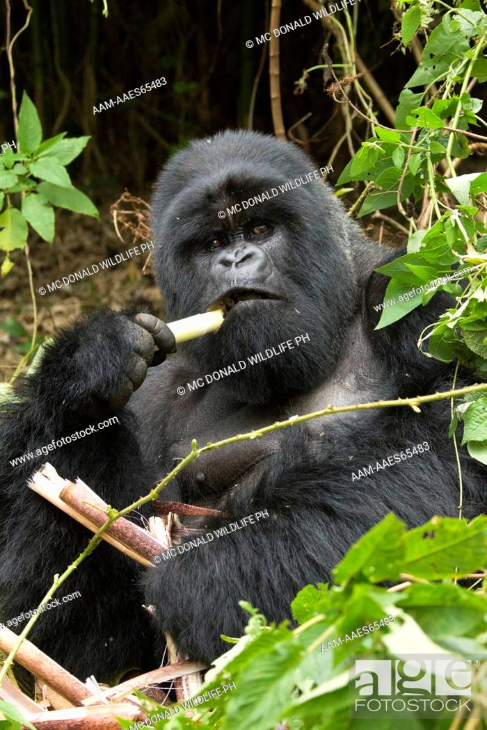 Stock Photo: Mountain Gorillas (Gorilla beringei beringei) in the Volcanoes NP, Rwanda, Hirwa Silverback eating bamboo in day nest.