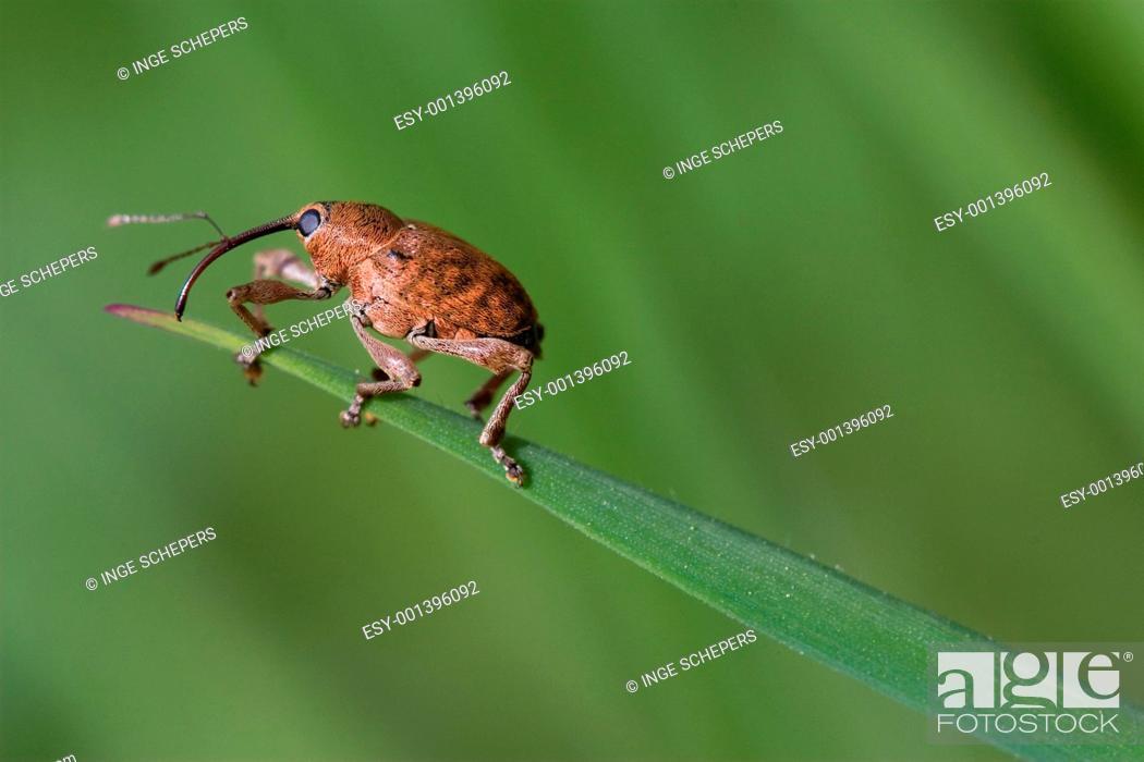 Stock Photo: Weevil.